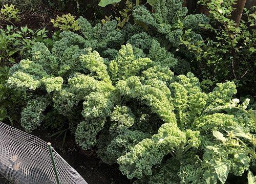 Fakta Mengenai Kale Dan Informasi Jual Sayur Kale Organik